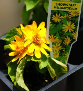 Plants for Fairy Garden - Showstar Melampodium