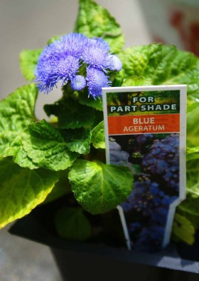 Plants for Fairy Garden - Blue Ageratum
