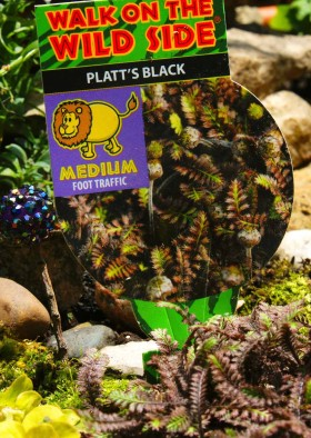Plants for Fairy Garden - Platt's Black