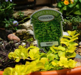 "Plants for Fairy Garden - Lysimachia ""Aurea"""