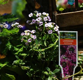 Plants for Fairy Garden - Lavender Alyssum
