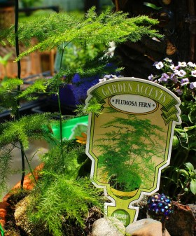 Plants for Fairy Garden - Plumosa Fern