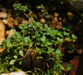 Plants for Fairy Garden - Creeping Thyme