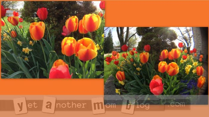 Tulips using fisheye lens comparison